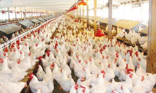 Romanian chicken meat